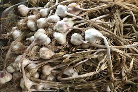 aglio-di-ufita